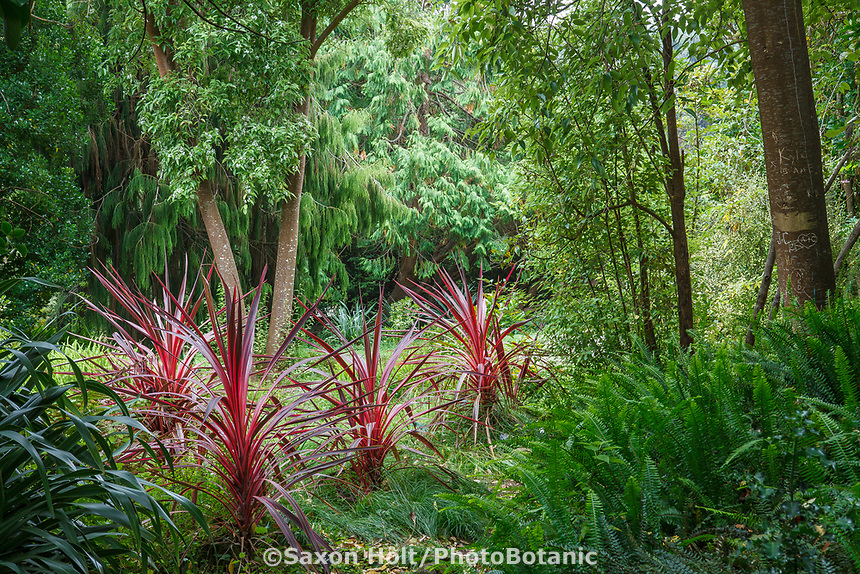 Cordyline banksii 'Electric Pink', grasslike perennial foliage plant in New Zealand section of San Francisco Botanical Garden