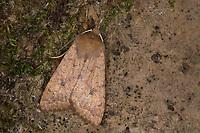 Rötlichgelbe Herbsteule, Ulmen-Herbsteule, Sunira circellaris, Agrochola circellaris, Brick, Eulenfalter, Noctuidae, noctuid moths, noctuid moth