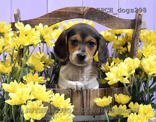 Xavier, ANIMALS, dogs, photos(SPCHdogs298,#A#) Hunde, perros