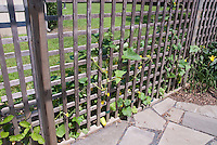 Using a fence between properties to grow veggies! Cucumber vegetable plants in garden supported by vertical wooden lattice trellis