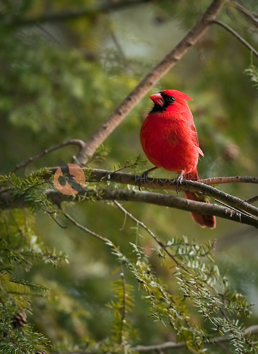 Bright red male cardinal in hemlock tree