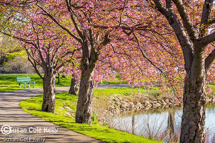 Kwansan Cherry blossoms on the Charles River Esplanade, Boston, Massachusetts, USA