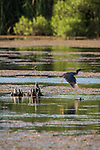 Damon, Texas; a green heron taking flight from a small tree stump in the lake in late afternoon light