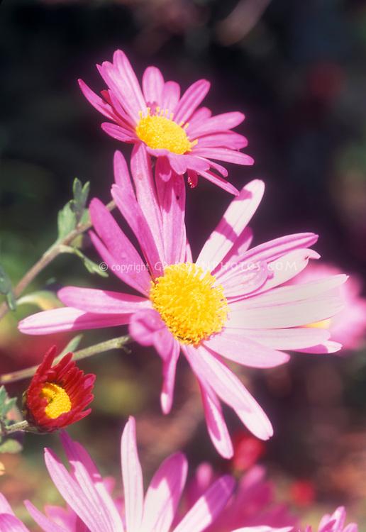 Chrysanthemum Tapestry Rose pink flowers