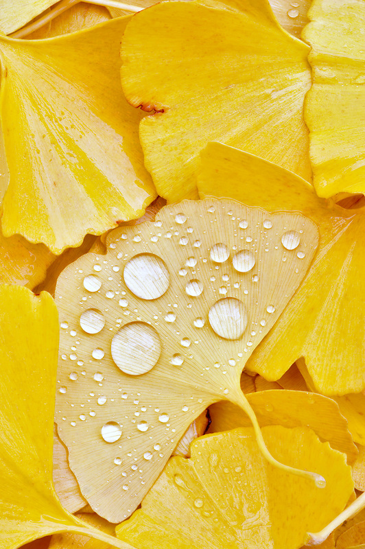 Ginko leaves with rain drops.
