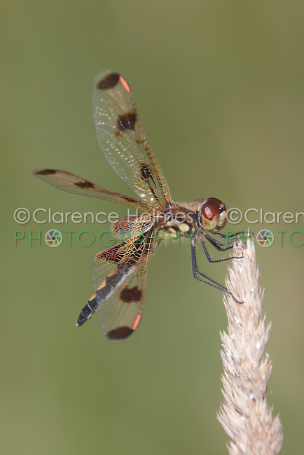 Calico Pennant (Celithemis elisa) Dragonfly - Female, Promised Land State Park, Greentown, Pike County, Pennsylvania