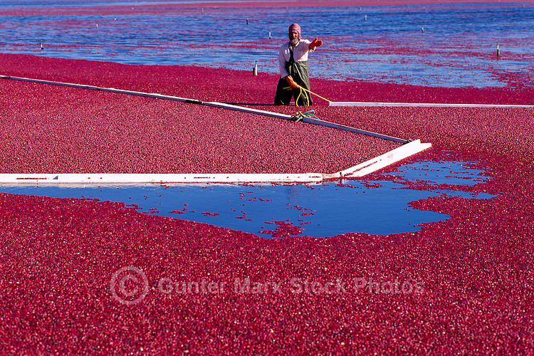 Richmond, BC, British Columbia, Canada - East Indian Agricultural Worker harvesting Cranberries (Vaccinium macrocarpon) with Bog Boom in Flooded Field on Cranberry Farm