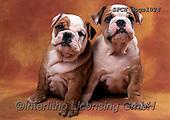 Xavier, ANIMALS, REALISTISCHE TIERE, ANIMALES REALISTICOS, dogs, photos+++++,SPCHDOGS1024,#a#, EVERYDAY