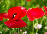 Deutschland, Bayern, Chiemgau: Klatschmohn | Germany, Bavaria, Chiemgau: red poppy