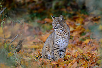 Wild Bobcat (Lynx rufus) sitting among fallen bigleaf maple tree leaves.  Olympic National Park, WA.  November.  (Completely wild, non-captive cat.)