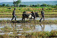 BURKINA FASO, Bobo Dioulasso, village  Bama, rice farming for Hybrid seed production, farmer with ox plough the soil / Dorf Bama, Reis Hybrid Saatgut Anbau fuer  Firma Nafaso, Saatgutherstellung, Farmer pfluegen Reisfeld mit Ochsen