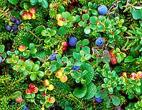 Bog Blueberry (Vaccinium uliginosum) and low brush Cranberry (Baccinium vitisidaea) Alaska