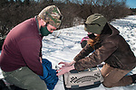 New Hampshire Fish and Game biological technician, Brett Ferry (L), and University of New Hampshire graduate student, Melissa Bauer (R) place a trapped hybrid eastern cottontail rabbit into a cage for transfer to another pen with other eastern cottontail rabbits in the Great Bay National Wildlife Refuge.