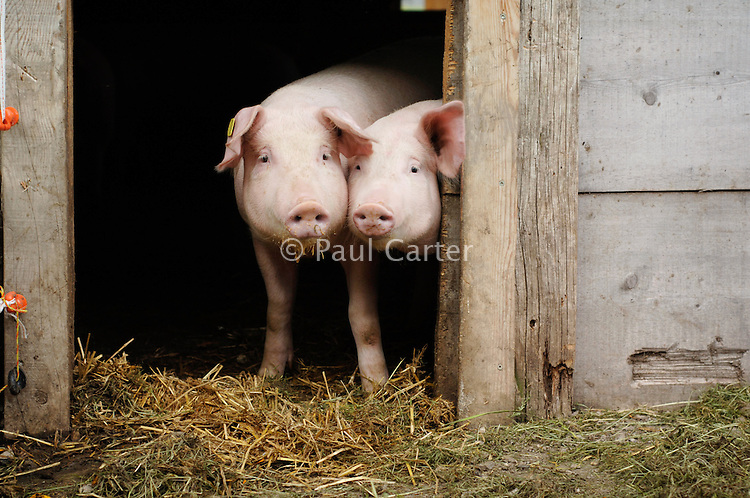 Two pigs poking their heads out of the door of thier sty...Cowherd and cheesemaker spends 100 days in the summer, high up in the mountains, tending cows and pigs and making cheese at Balisalp and Käserstatt near Meiringen, Switzerland.