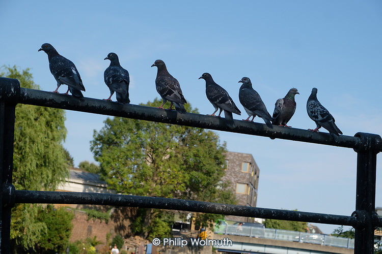 Pigeons, Grand Union canal, North Paddington, London