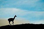 Guanaco (Lama guanicoe) running at sunrise, Torres del Paine National Park, Patagonia, Chile