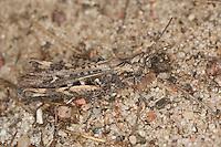 Brauner Grashüpfer, Feldheuschrecke, Weibchen, Chorthippus brunneus, Glyptobothrus brunneus, Chorthippus bicolor, Stauroderus brunneus, field grasshopper, common field grasshopper