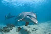 common bottlenose dolphin, Tursiops truncatus, Roatan, Bay Islands, Honduras, Caribbean Sea, Atlantic Ocean