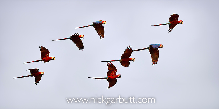 Group of Red-and-Green Macaws or Green-winged Macaws (Ara chloropterus) (Family Psittacidae) in flight over forest canopy. Taiama Ecological Reserve, Paraguay River, Pantanal, Brasil. (digitally modified)