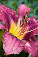 Hemerocallis, dylily, fresh rain water drops of purple flower petal in garden