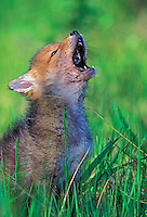 COYOTE pup howling. 3 weeks-old..Rocky Mountains. Spring..(Canis latrans).