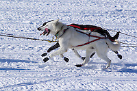 Sunday, March 4, 2012  Ray Redington, Jr. dogs on Long Lake after departing the restart of Iditarod 2012 in Willow, Alaska.