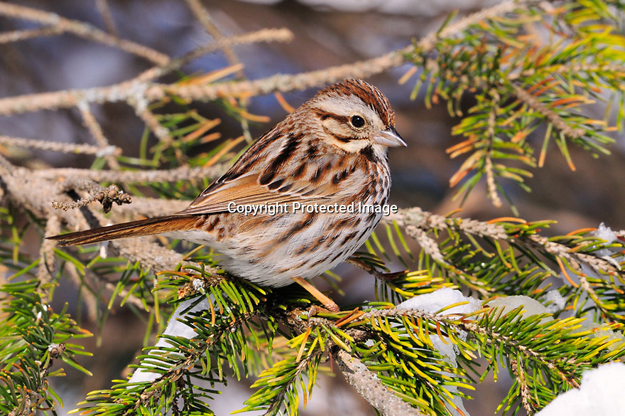 01098-003.13 Song Sparrow is perched in spruce tree after recent snow fall. Cover, habitat, backyard, landscape.
