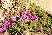 Wild pink Oxalis flowers  Rab Island, Craotia