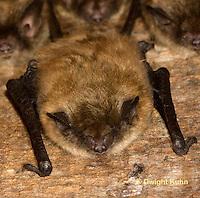 MA20-532z  Little Brown Bats, Myotis lucifugus