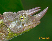 0716-06ww  Jackson chameleon - Chamaeleo jacksonii - © David Kuhn/Dwight Kuhn Photography