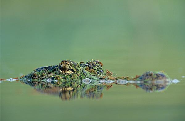 American Alligator, Alligator mississipiensis, adult swimming, Welder Wildlife Refuge, Sinton, Texas, USA