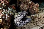 Black spotted moray eel, Gymnothorx favagineus, Maldives Pier