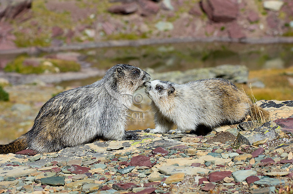 Hoary Marmots (Marmota caligata) greeting--younger one (on right) greeting adult.  Northern Rocky Mountains.  Sept.