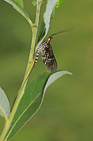 Große Eintagsfliege, Dänische Eintagsfliege, Maifliege, Ephemera danica, mayfly, green drake