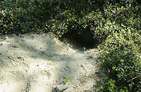 Rotfuchs, Rot-Fuchs, Fuchs, Bau, Höhle, Fuchsbau, Vulpes vulpes, red fox