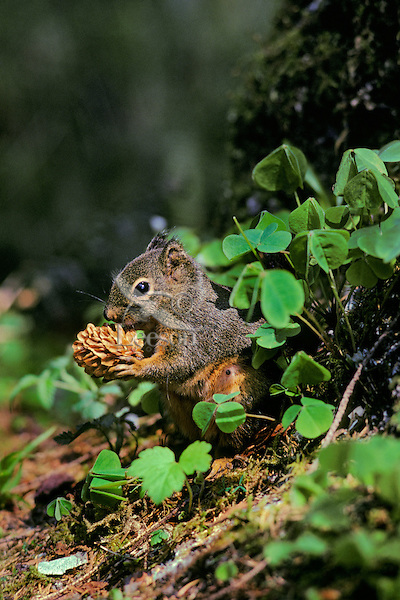 Douglas squirrel or chickaree feeding on cone.  Pacific Northwest.