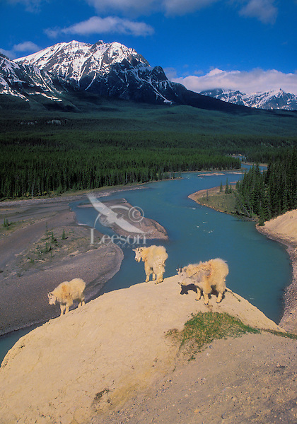 Mountain Goats (Oreamnos americanus). The nannies and kids have dropped down from the nearby ridges to feed on mineral rich cliffs over the Athabasca River. Summer. Rocky Mountains. Jasper National Park, Alberta. Canada.