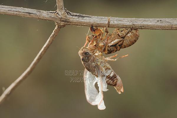 Hieroglyphic Cicada (Neocicada hieroglyphica), adult emerging from nymph skin, New Braunfels, San Antonio, Hill Country, Central Texas, USA