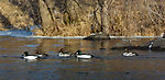 Common goldeneye swimming in the Chippewa River in northern Wisconsin