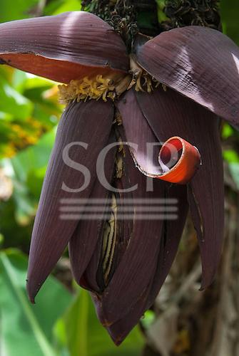 Fazenda Bauplatz, Brazil. Banana fruit and flower.