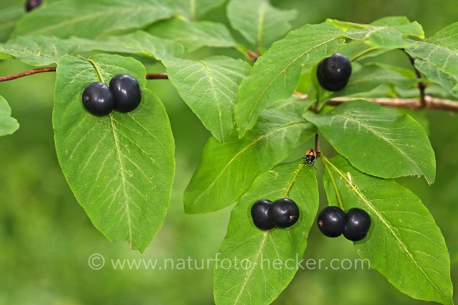 Schwarze Heckenkirsche, Geißblatt, Früchte, Lonicera nigra, black berried honeysuckle, black-berried honeysuckle, Black Honeysuckle, Geißblattgewächse, Caprifoliaceae