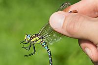 Libellen-Bestimmung, gefangene Libelle wird vorsichtig zwischen zwei Fingern gehalten, Entomologie, Biologie, Freilanduntersuchung, Zoologie, entomology, biology, zoology. Blaugrüne Mosaikjungfer, Blaugrüne-Mosaikjungfer, Männchen, Aeshna cyanea, Aeschna cyanea, blue-green darner, southern aeshna, southern hawker, blue hawker, male, L'Æschne bleue