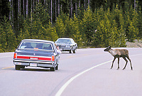 Woodland Caribou: Mountain Caribou ecotype (Rangifer tarandus caribou) in spring waits for cars to pass before crossing the Icefields Parkway in the Rocky Mountains of Jasper National Park, Alberta, Canada. Mountain Caribou are considered to be the most endangered large mammal in lower 48 states of U.S.A. and a threatened species in Canada.