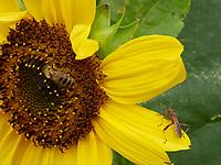 A bee gathering nectar from a sunflower. On the flowers, encounters with other insects are frequent.<br /> Une abeille butine sur une fleur de tournesol. Sur les fleurs les rencontres avec d'autres insectes sont fréquentes.