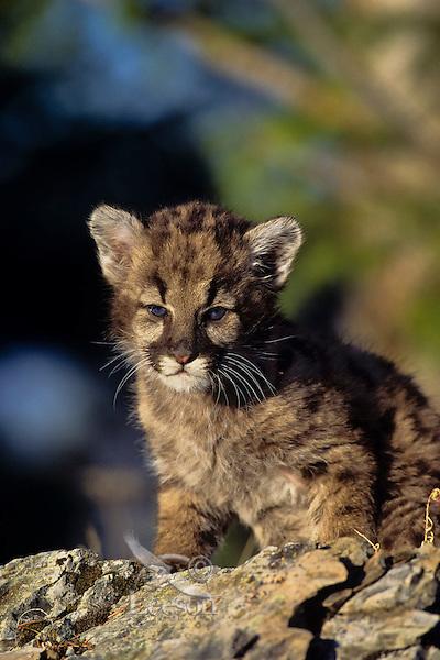 Young Mountain Lion cub or Cougar Kitten (Felis concolor)
