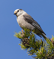 Gray jays are often seen in Yellowstone's forests.