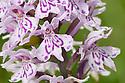 Common spotted orchid (Dactylorhiza fuchsii Derbyshire, UK. June.