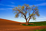 Old oak standing between wheat fields in the Palouse Hills, WA.  A great example of crop rotation, as in another of my photos on off years the bare field is be green and the field sprouting green in this image, is bare.