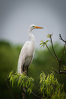 A great egret posing near his nest at Smith Oaks Rookery near High Island, Texas