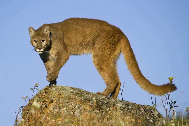 Puma (puma concolor) walking across the top of a ledge near Kalispell, Montana, USA - Captive Animal